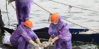 Vào ngày 10/7 vớt được 20,5 tấn cá chết