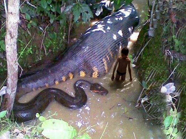 rắn khổng lồ