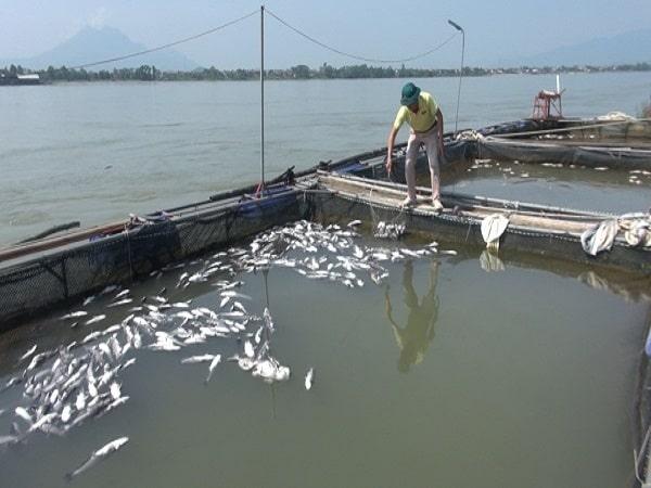 Hiện tượng cá lồng chết hàng loạt trên hồ thủy điện