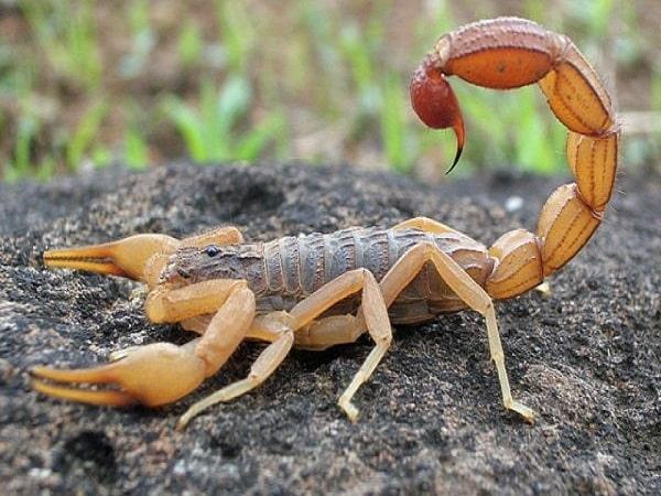 Mơ thấy bọ cạp điềm báo gì đánh số gì
