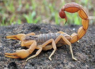 Mơ thấy bọ cạp điềm báo gì